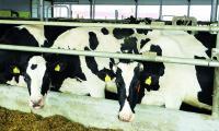 Jak pokazały dane Agencji Rynku Rolnego, podlascy rolnicy zwiększają produkcję mleka. Szczególnie wysoką dynamikę odnotowano w grudniu.