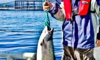 Suempol to jedna z największych w Europie firm przetwórstwa łososia