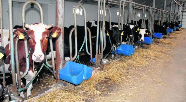 Każdy rolnik, który poważnie myśli o przyszłości, rozwija produkcję mleka. Niestety, gospodarze - którzy przekroczą swoje mleczne limity - będą musieli  zapłacić wysokie kary. W efekcie płynność gospodarstw może zostać zagrożona.