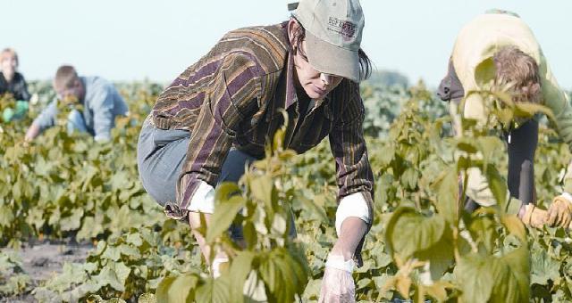 Na polu Mateusza Kopytowskiego pracuje sezonowo kilkanaście osób. Na zdjęciu: Anna Pęziak (w czapce) z Janikowa.