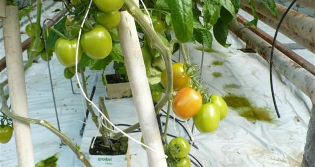 """Prywatne Gospodarstwo Ogrodnicze posiada też certyfikaty: EUREPGAP oraz GLOBALG.A.P. Świadczy to o tym, że cała produkcja prowadzona jest zgodnie z dobrą praktyką rolniczą, że nie jest szkodliwa dla środowiska, że wszystko robione jest """"książkowo""""."""