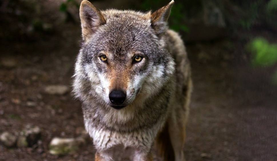 Film do artykułu: Coraz więcej wilków w naszych lasach. Boimy się ich, czy już nie. Komu wilki przeszkadzają... (ZDJĘCIA, WIDEO)