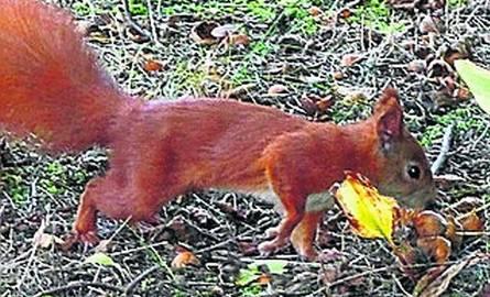 W parkach i miejskich lasach wiewiórki zabiegają o orzeszki.