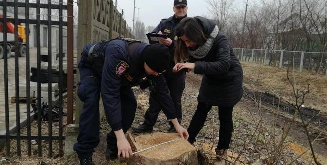 W marcu strażnicy wraz z urzędniczką ratusza mierzyli pnie wyciętych drzew. Dzisiaj już po drzewach nie ma śladu.