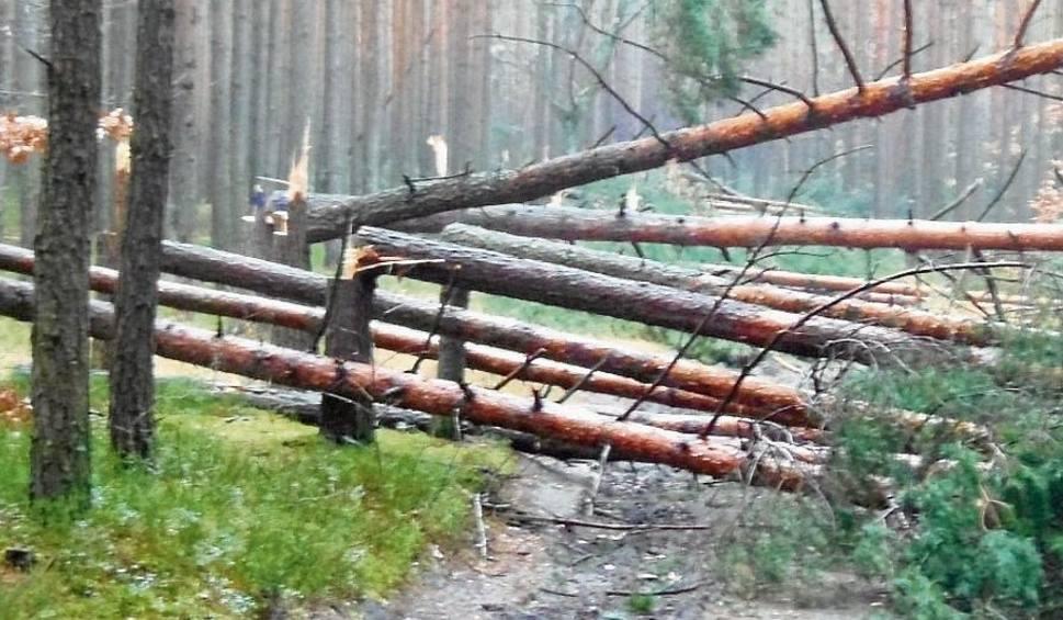 Film do artykułu: Wandal podciął aż 111 drzew w lesie. Czy to zemsta?