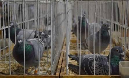 Na wystawę trafiło aż 420 gołębi