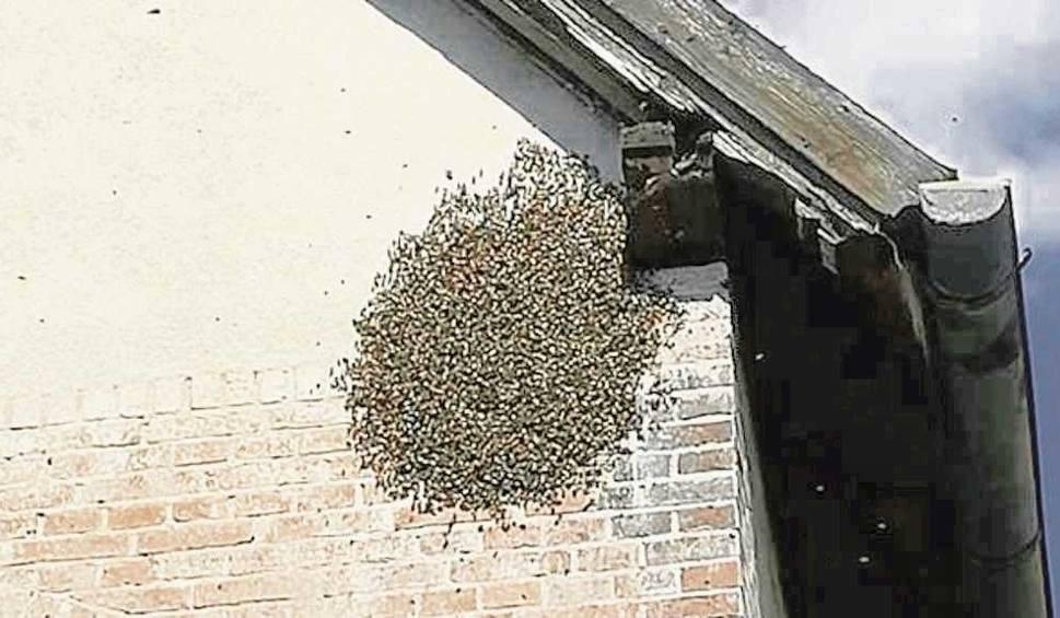 Film do artykułu: Kędzierzyn-Koźle: Przyleciały pszczoły wielkim rojem i powiało w mieście niepokojem