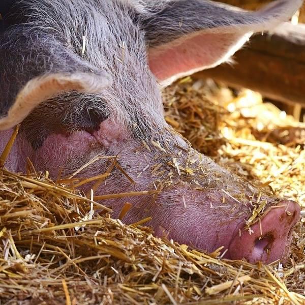 Co zrobić ze padłą świnią lub krową? Zakopiesz, możesz stracisz 11 tysięcy złotych