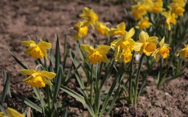Żonkile są odmianą narcyza. Kwitną od marca do maja. Żonkile można sadzić na rabatach, skalniakach, w donicach, na trawnikach i pod krzewami.