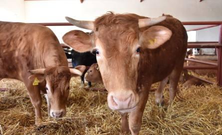 Zamieszanie spowodowane tzw. piątką dla zwierząt doprowadziło do rozchwiania stawek w skupie bydła. Gdy kontrowersyjna ustawa znalazła się w sejmowej