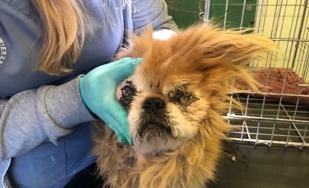 """Do lecznicy dla zwierząt """"Ada"""" w Przemyślu trafił pies rasy pekińczyk. - Nazwaliśmy go Cynamon. Pies był ewidentnie maltretowany, miał"""