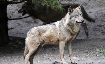 3500 metrów od centrum handlowego M1 w Poznaniu myśliwi natrafili na watahę pięciu wilków.