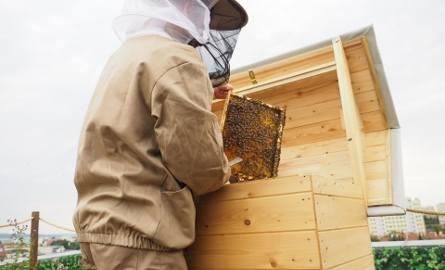 Na dachu Galerii Rzeszów otwarto dziś Pasiekę w Sercu Miasta. Zamieszkało tam prawie pół miliona pszczół. Pomysłodawcami tego przedsięwzięcia są bracia