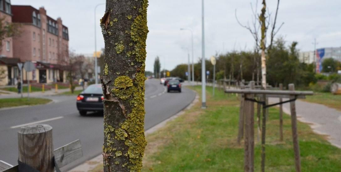 Można mieć wątpliwości czy te drzewa dotrwają do zakończenia postępowania administracyjnego