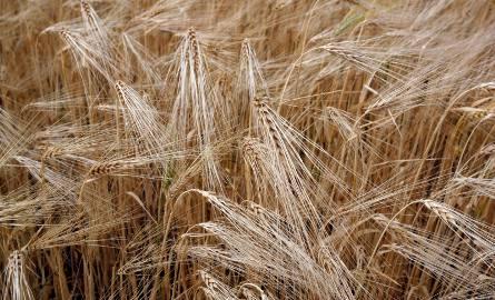 w woj. podlaskim na polach pozostaje jeszcze 20 proc. zbóż jarych, oziminy są już praktycznie zebrane