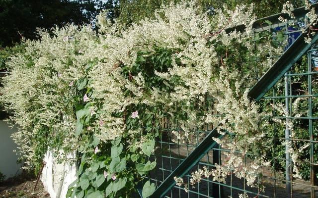 Rdest Auberta rozrasta się bardzo szybko, więc chcąc zazielenić ogrodzenie o długości doi 6 metrów, wystarczy tylko jedna sadzonka tej rośliny.