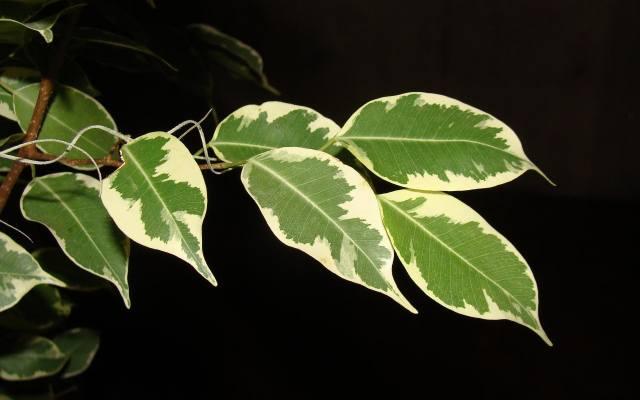 Liście benjaminów często są kolorowe - przebarwione na biało, kremowo lub w różnych odcieniach zieleni.