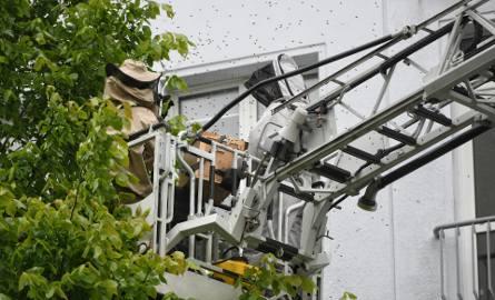 W ostatnich dniach poznańska straż pożarna musiała kilka razy interweniować z powodu zgłoszeń o rojach pszczół. Choćby w czwartek setki owadów pojawiły