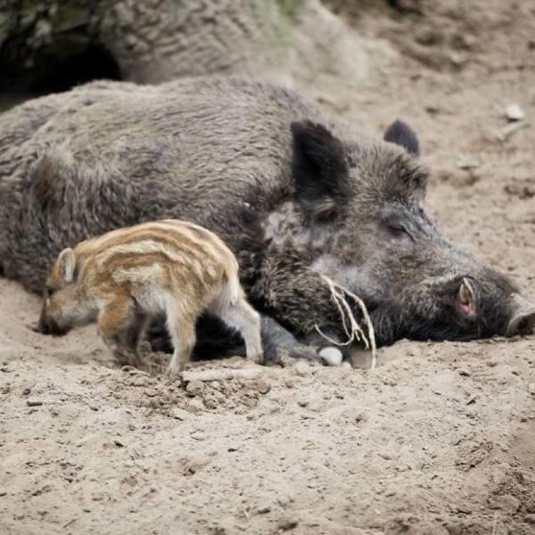 Polowania na dziki. Rzeż dzików, tak politycy PiS walczą z ASF. Myśliwi zabiją ponad 3000 dzików w Łódzkiem. Polowania na dziki 16.02.2020