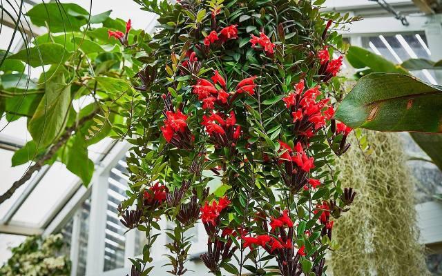 """Aeschynanthus Lobbianus pięknie kwitnie. Po angielsku jest nazywany """"szminkową rośliną"""", bo jego kwiaty mogą kojarzyć się z pomadką"""
