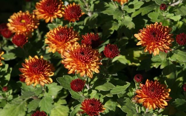 Chryzantemy pięknie wyglądają na rabacie. Kolory kwiatów mają bardzo zróżnicowane: od białych, przez różne odcienie żółtego, pomarańczowego i różowego,