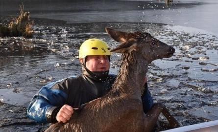 Puszcza Białowieska. Strażacy i pracownicy Nadleśnictwa Hajnówka uratowali młodego jelenia przed zatonięciem [ZDJĘCIA]