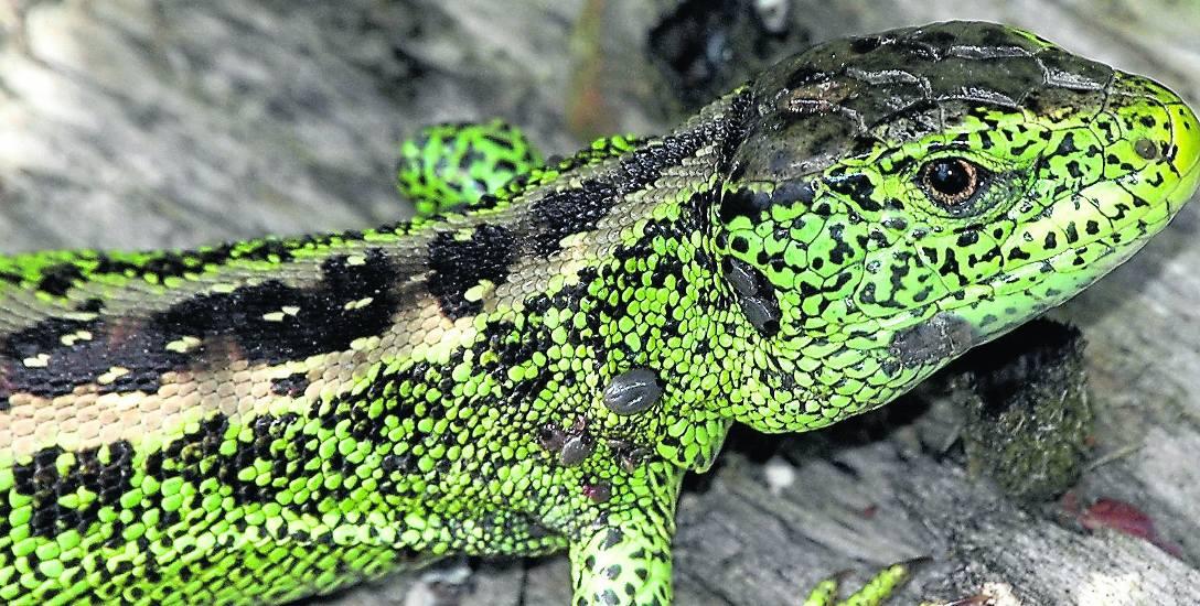 Samiec jaszczurki zwinki w okresie godowym. Boki ciała samców nawet poza okresem godowym są zielone i pełne różnych plamek. Samice są znacznie skromniej