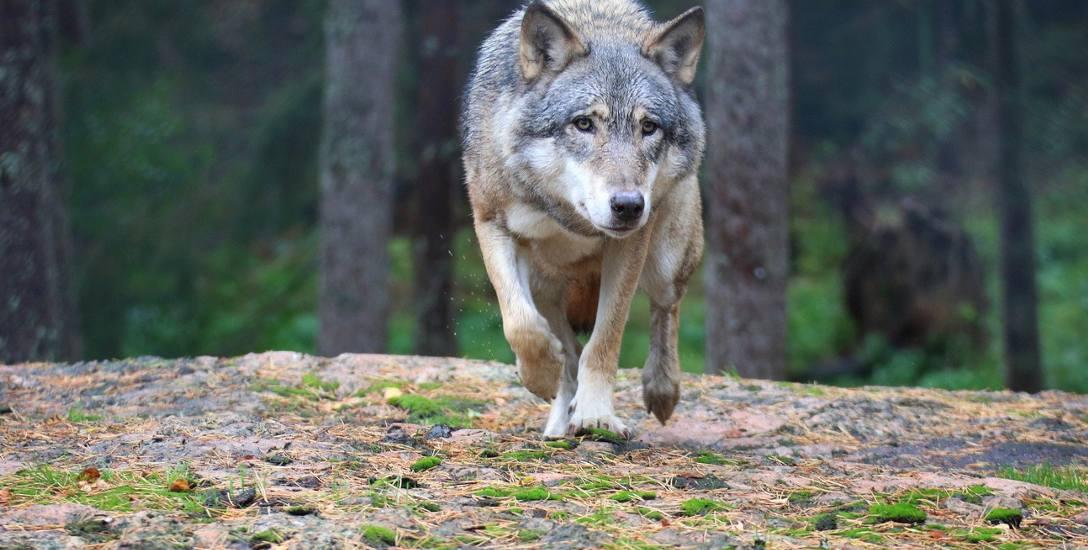 Zobaczyć wilka w lesie? Niezapomniane przeżycie!
