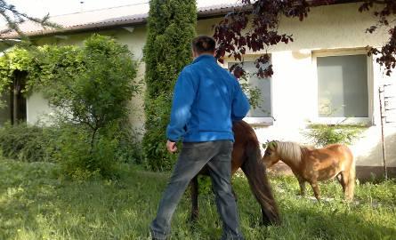 Zagubione kucyki na Przecławiu. Policja szuka właściciela