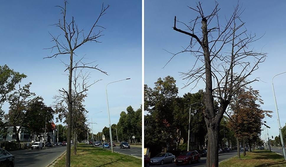 Film do artykułu: Z Wielkiej Alei Lipowej w Gdańsku znikną kolejne drzewa. Urzędnicy: To ze względów bezpieczeństwa