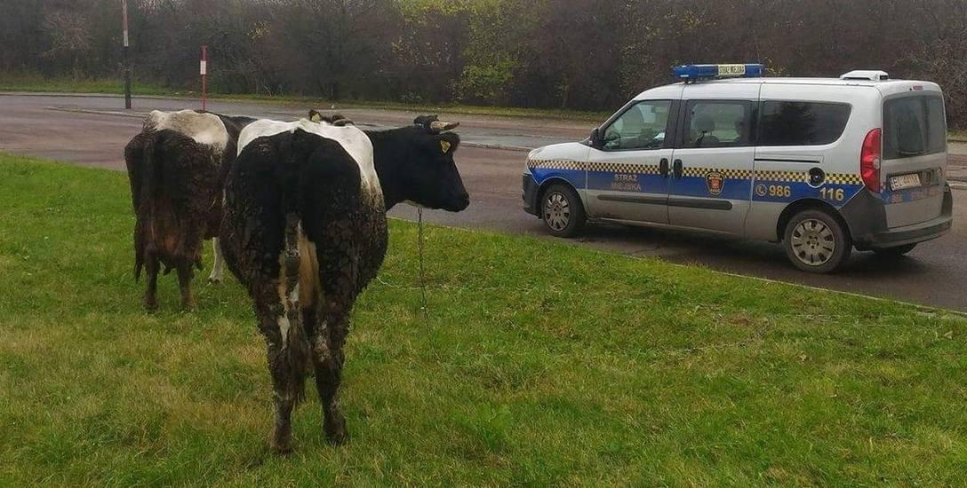 Strażnicy  łapali... krowy