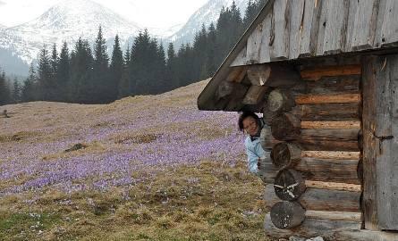 Krokusy na tatrzańskich polanach - widok niezapomniany!