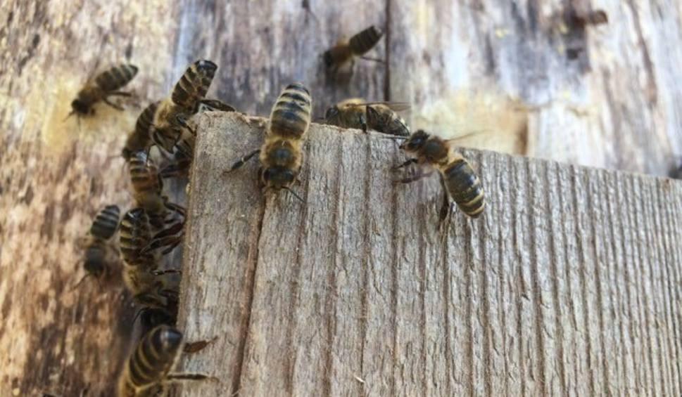 Film do artykułu: Kiedyś dzikie pszczoły królowały w naszych lasach. Teraz to rzadkość. Nadleśnictwo Bogdaniec dało im nowy dom