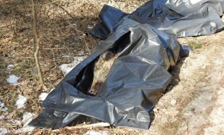 20 padłych dzików znaleziono koło Sokółki. Najprawdopodobniej to wirus ASF (zdjęcia, wideo)