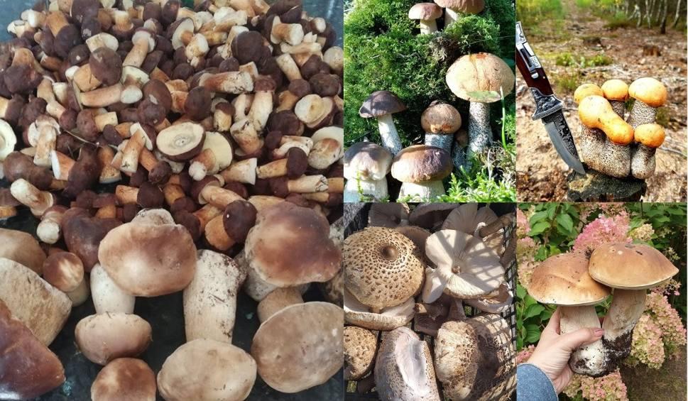 Film do artykułu: Grzybobranie 2019 w Lubuskiem. Oczywiście, że grzyby w lesie są. Nasi Czytelnicy mają na to twarde dowody! [ZDJĘCIA]
