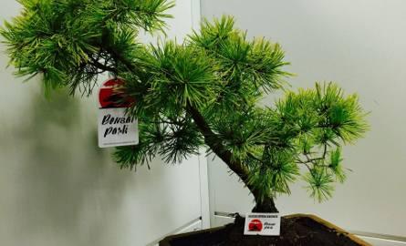 Formowanie drzewek Bonsai. Poznaj podstawowe style