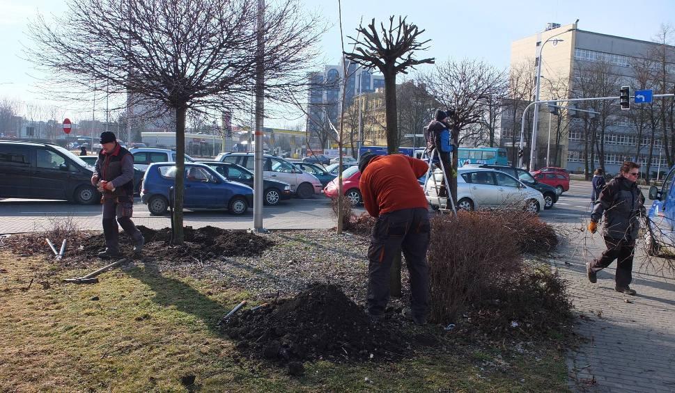 Film do artykułu: Opole Wschodnie. Przed wycinką udało się uratować 22 drzewa. Dziś przesadzono ostatnie [zdjęcia, wideo]