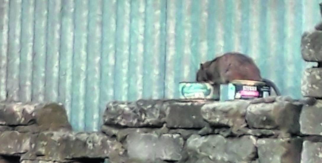 Przy posesji można zobaczyć szczury sporych wielkości. Tutaj gryzoń uchwycony przez sąsiadkę