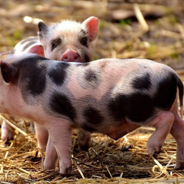 Hodowla trzody ras rodzimych bez GMO. W czym taka wieprzowina jest lepsza? [wideo]