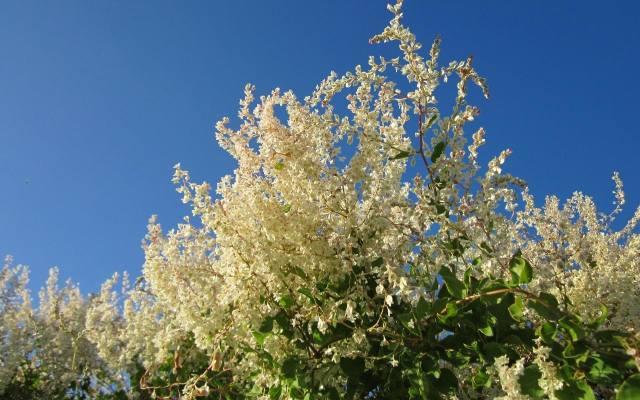 Rdestówka Auberta jest uprawiana jako roślina ozdobna od końca XIX wieku.