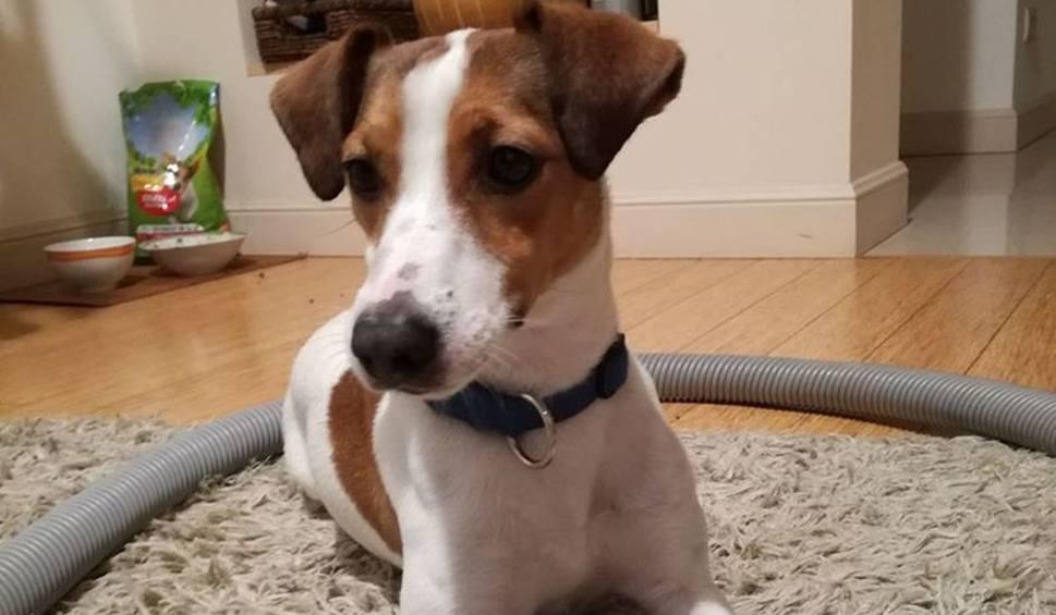 Zaginął Pies Rasy Jack Russell Terrier Tęsknią Za Nim Dzieci Gk24pl