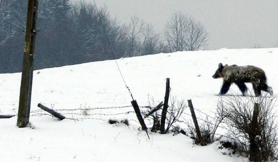 Film do artykułu: Niedźwiedź z Polany zostanie odłowiony. Pułapka już stoi