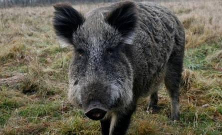 Dziki w okolicach Tarnowa Jeziernego są często widywane
