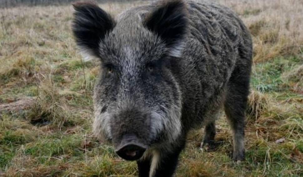 Film do artykułu: ASF w Lubuskiem. W okolicach Tarnowa Jeziernego znaleziono dziewięć padłych dzików.Pobrane próbki zostaną przebadane pod kątem wirusa