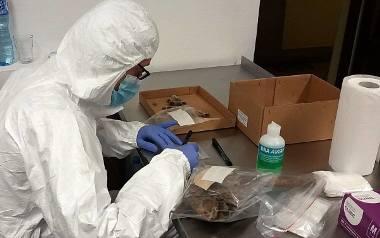 Pobieranie próbek kości w Muzeum Lubelskim. Teraz zostaną przebadane