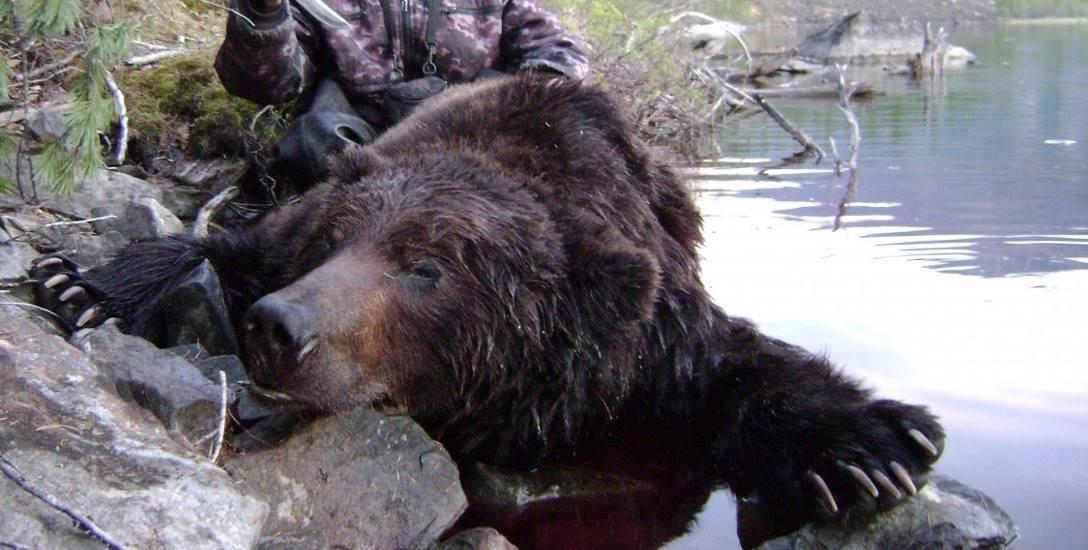 Na Syberii strzelają do wielkiego niedźwiedzia, w Afryce do bawołu i żyrafy