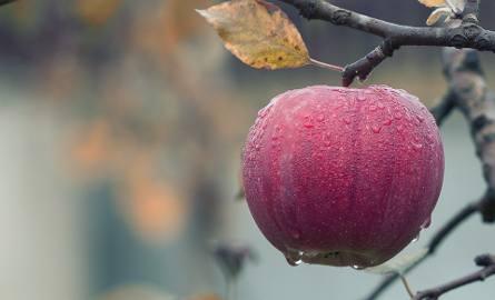 Skup jabłek przez Eskimos w powiecie sandomierskim. Punkty otrzymały po około 30 procent z należnych kwot