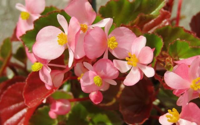 Begonia stale kwitnąca jest najbardziej uniwersalnym gatunkiem begonii. Moną ją uprawiać zarówno w gruncie jak i w pojemnikach, choć najczęściej spotyka