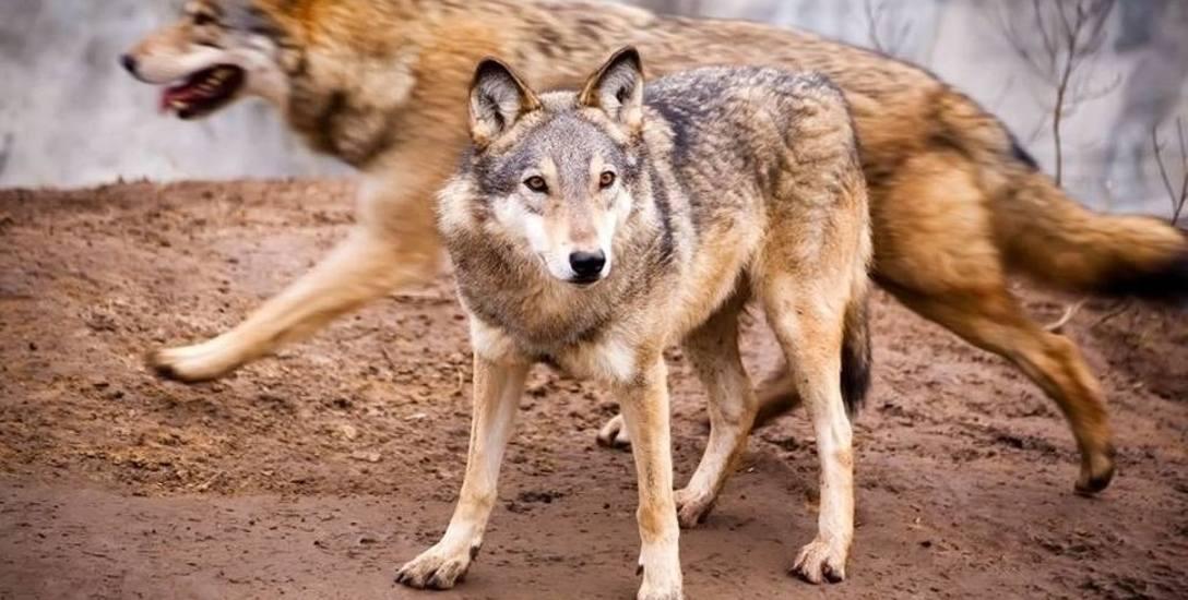 Wilki można zobaczyć w opolskim zoo. Na ich obecność w naturze nie ma jeszcze jednoznacznych dowodów z terenu województwa.