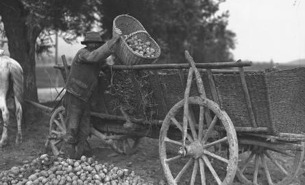 Zdjęcie: Wykopki - załadunek zbiorów na wozy, 1931 r.Powiew wiatru we włosach, wóz czekający na kolejne pełne kosze, zapach ogniska, smak pieczonego